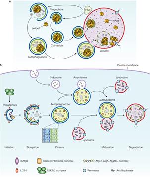 细胞自噬概念和基本过程 基因