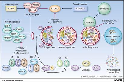 自噬体膜的来源问题, 细胞器自噬, 特别是线粒体自噬, mitophagy, Beclin1复合物的形成和调控蛋白以及mTOR信号通路在自噬中的作用